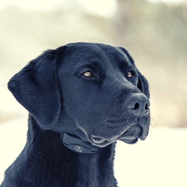 A cute black dog using a SportDOG NoBark 10 Standard Waterproof Rechargeable Dog Bark Collar
