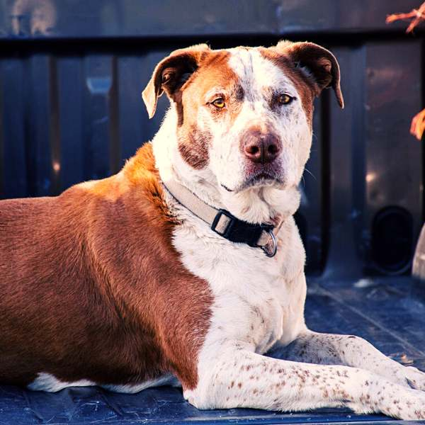 Dog's Response to an Anti-Bark Collar
