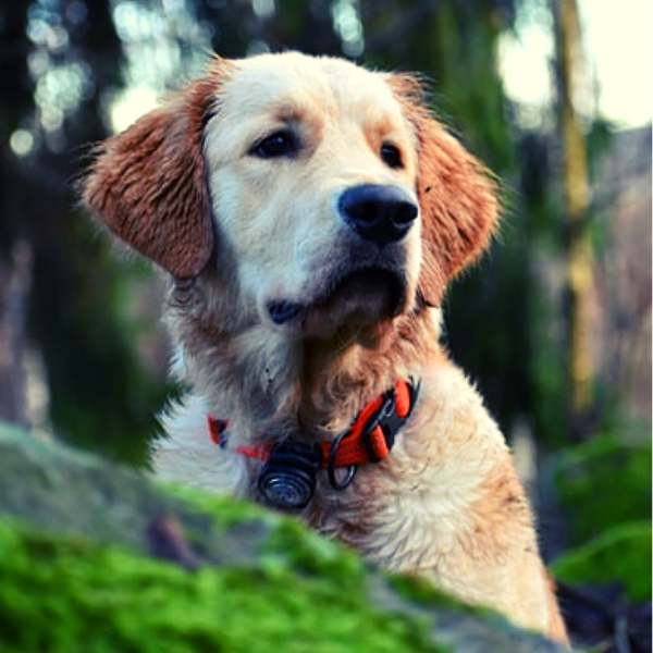 How to train using bark collars for dogs