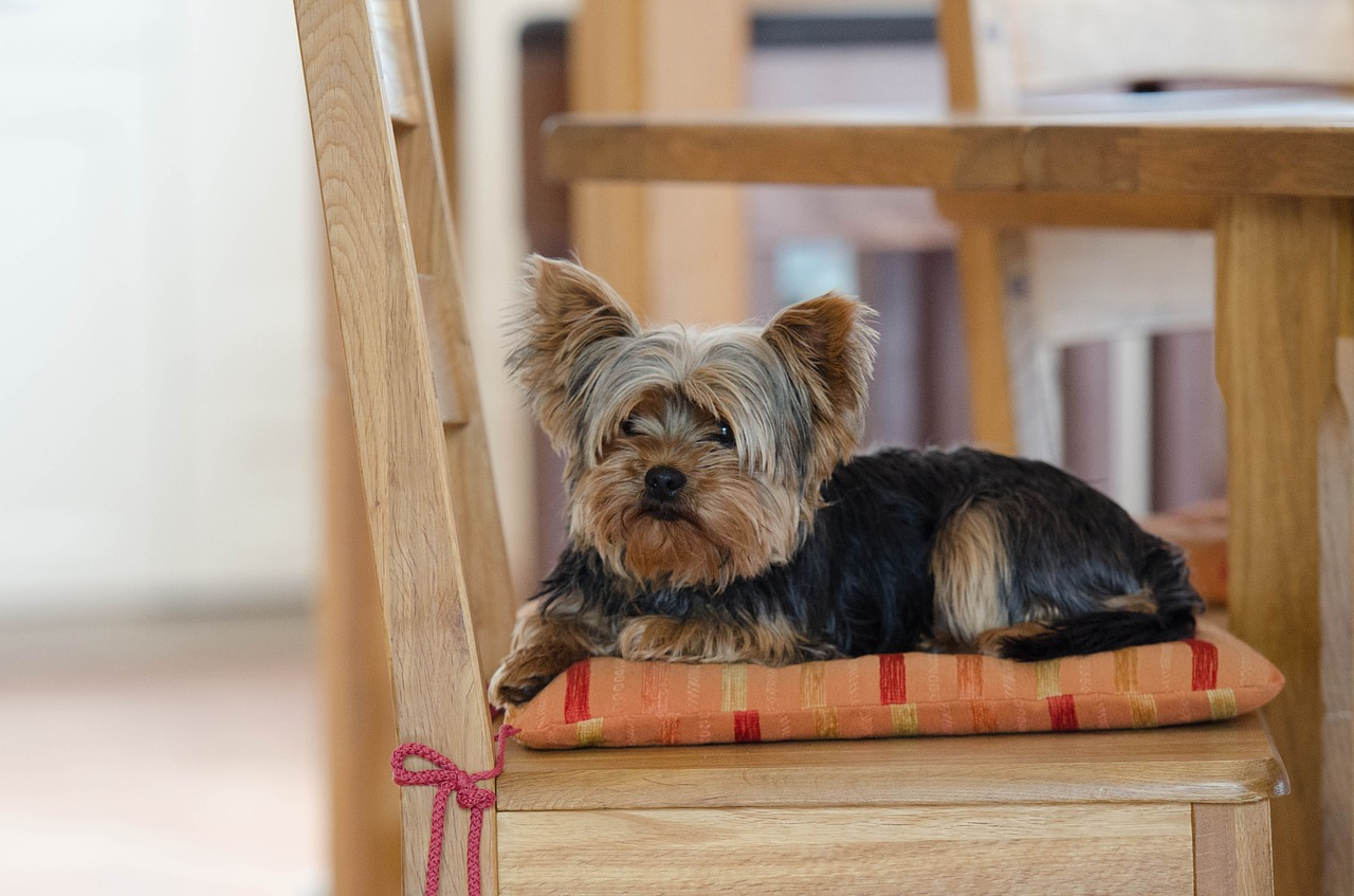 Best Food For Yorkshire Terriers, Reviewed by Dog Nerdz