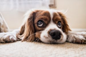 Probiotics for Canines