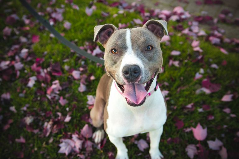 What Is The American Pit Bull Terrier Temperament?