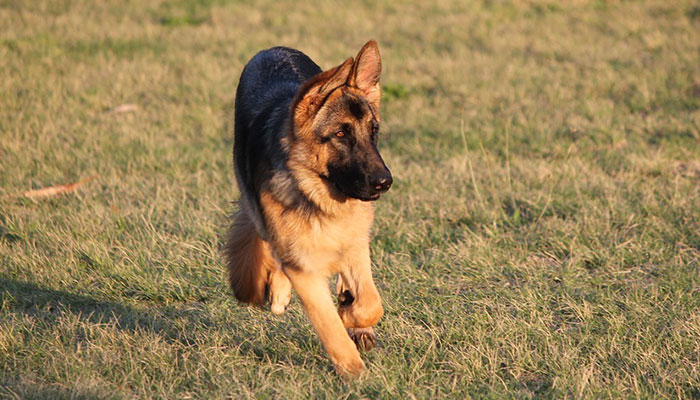 How to tell if your Dog has Hip Dysplasia?