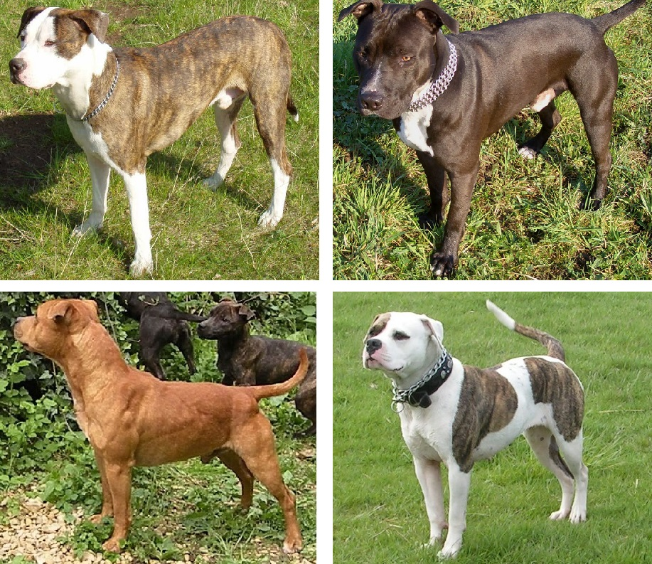 What Is The History of Pit Bulls?