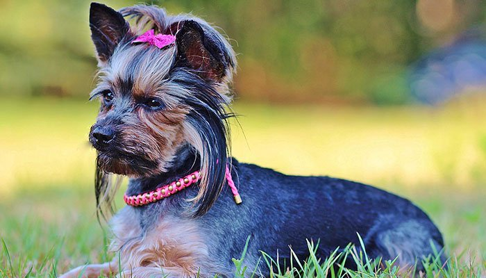 How to Take Care of Yorkshire Terriers Hair