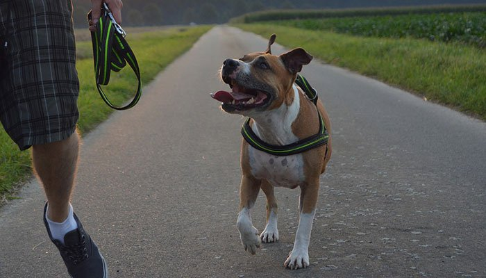 What Are The Types Of Pitbulls?
