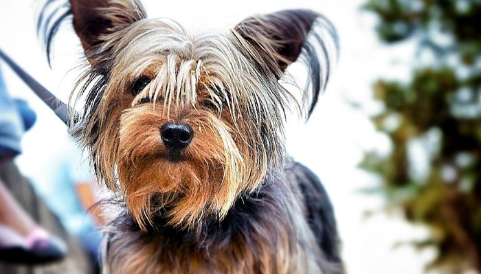 The Typical Yorkshire Terrier Temperament