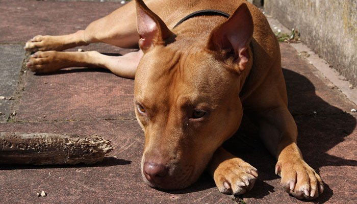 What Dog Food To Get For a Pitbull?