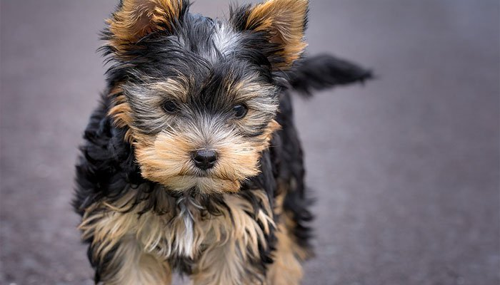 What To Feed a Yorkie Puppy or Dog?