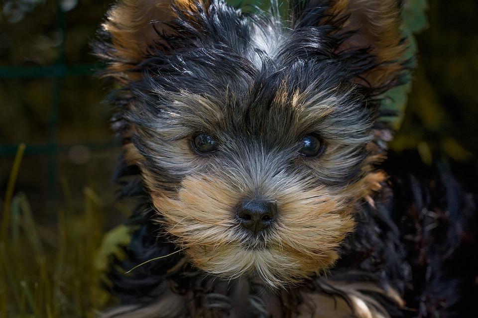 Yorkie Feeding Schedule Puppy