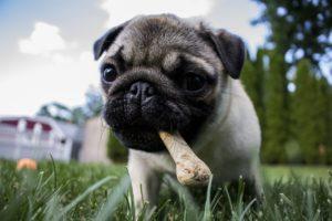 Pug chewing treat