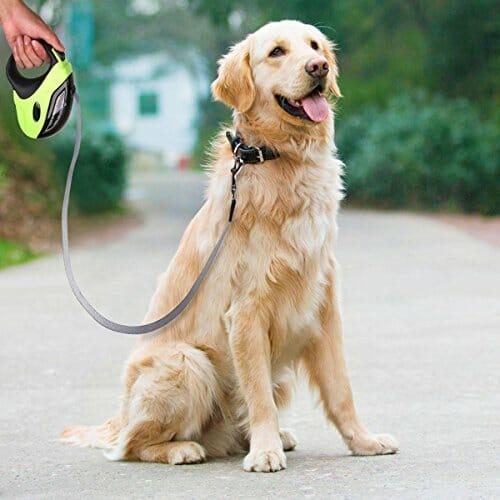 Golden retriever with retractable dog leash