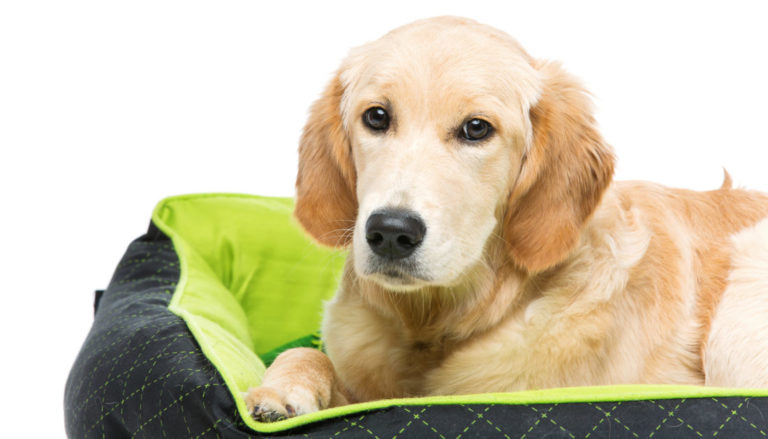 10 Best Dog Beds For Large Dogs in 2021