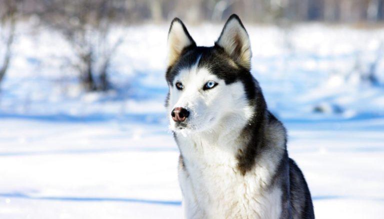 10 Best Dog Foods For Huskies
