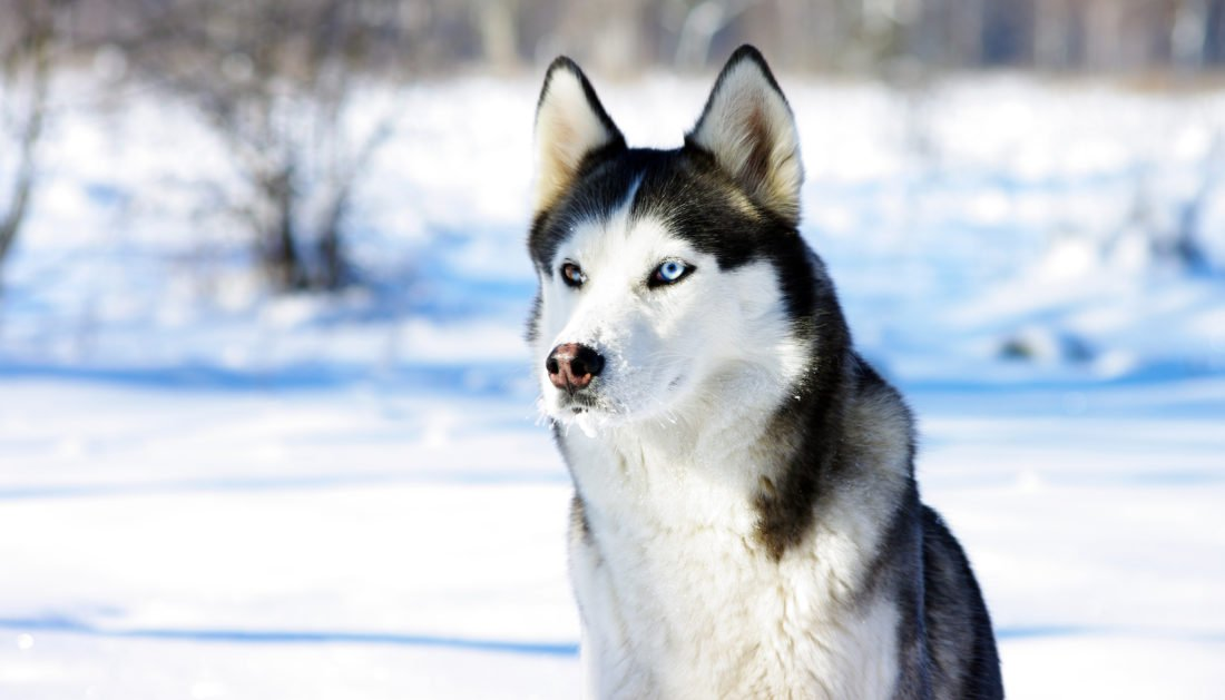Best Dog Food For Huskies Review