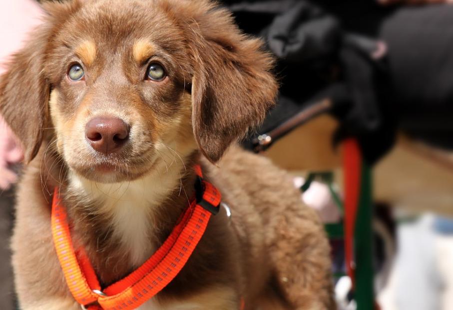 brown-puppy-on-an-orange-adjustable-harness