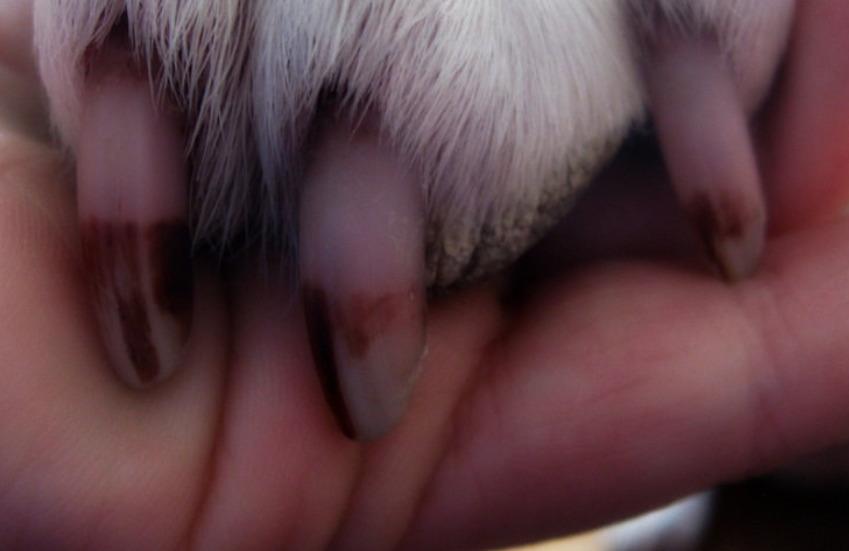 dog-nails-protruding