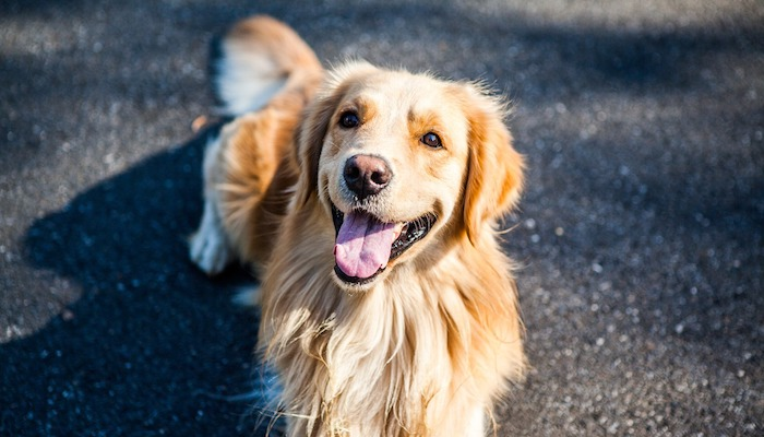 Ultimate Guide To Golden Retrievers
