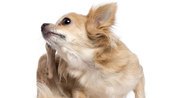 Natural Dog Flea Removal Remedies