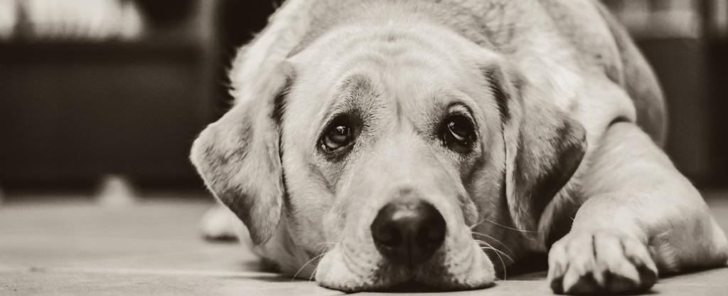 old-labrador-lying-down-on-floor