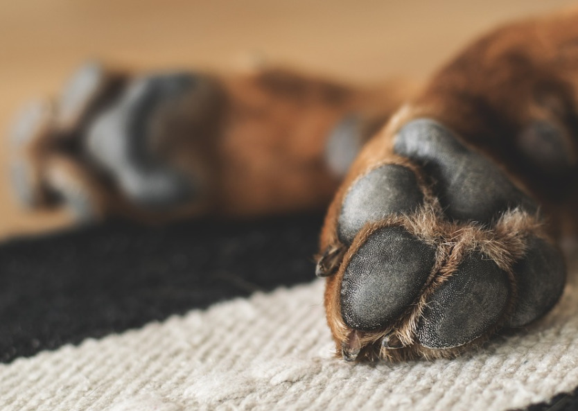 sleeping-brown-dogs-paws