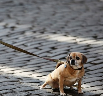 tiny-brown-dog-trying-to-pull-away