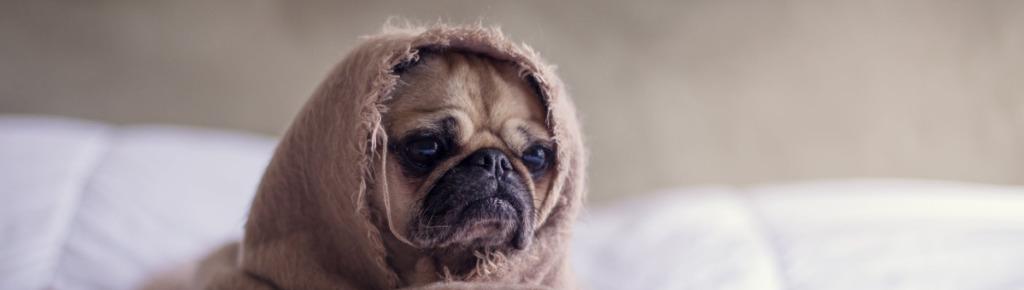 yoda-dog