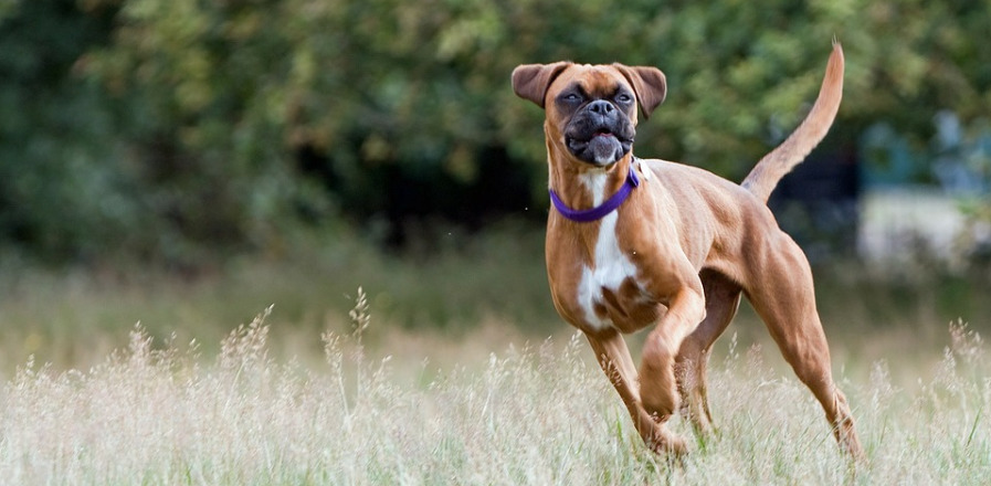 boxer running through the field