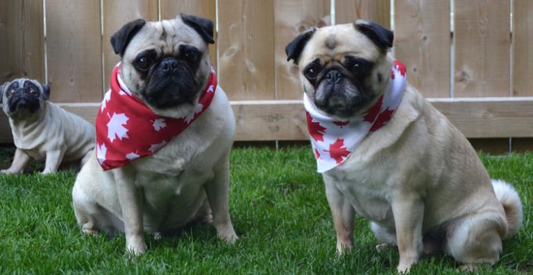 CBD Oil for Dogs in Canada