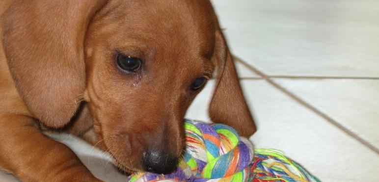 puppy daschund playing with yarn