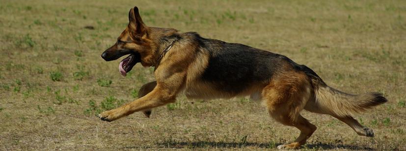 running german shepherd