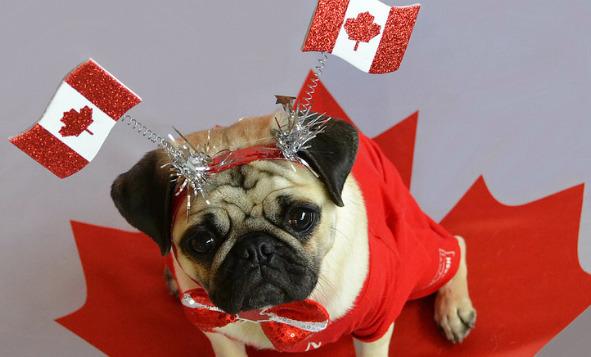 sad looking dog wearing a canada flag attire