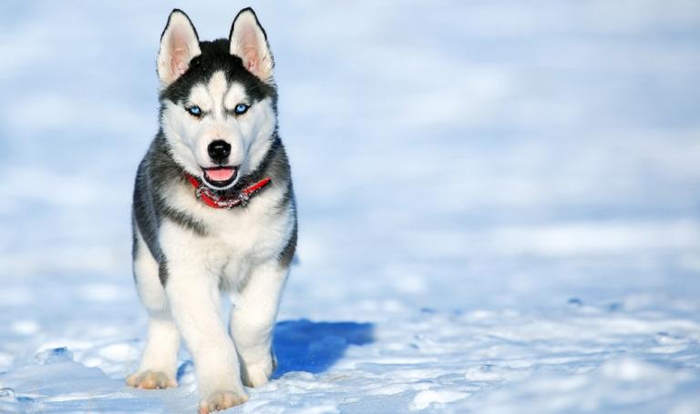 CBD Oil for Siberian Huskies