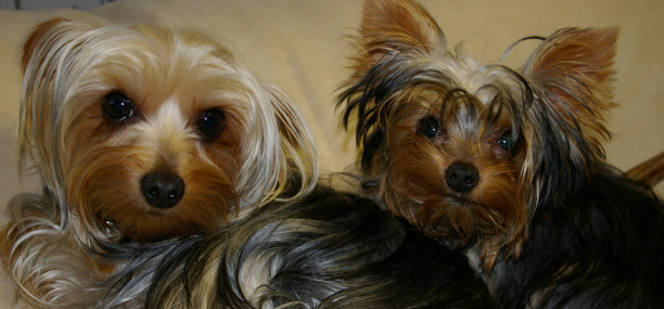 two hairy dogs with shiny fur