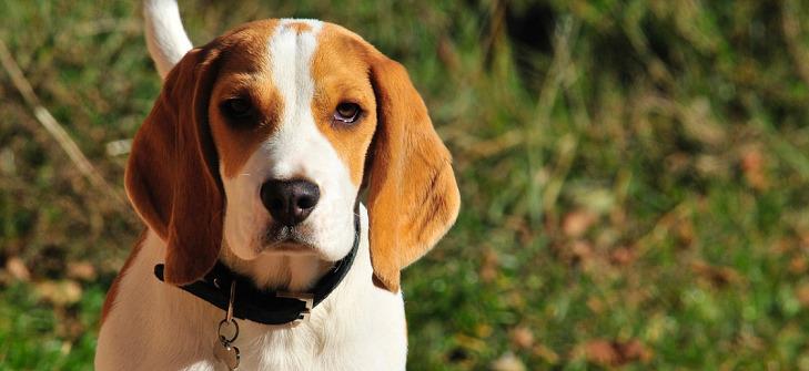 CBD Oil for Beagles – Improve Your Beagle's Health
