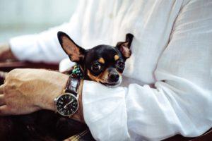 Chihuahua wit a man