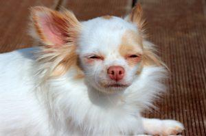 Small Dog Breeds: Chihuahua