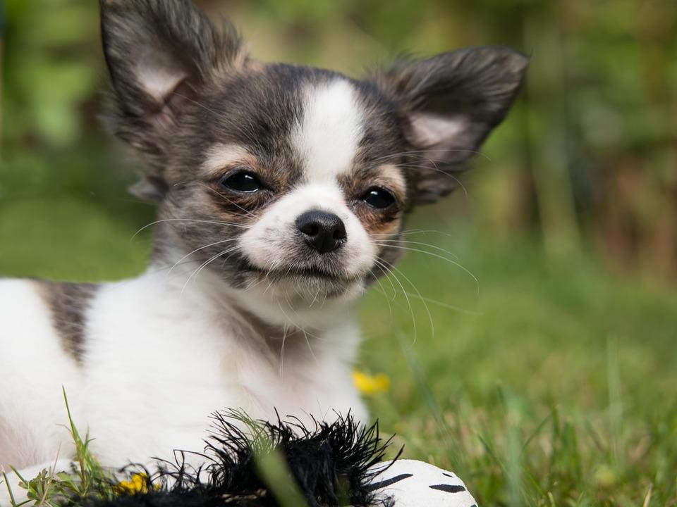 chihuahua dog smiling