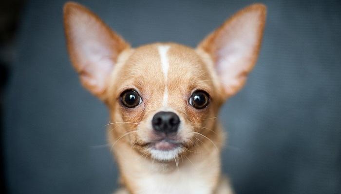 Chihuahua Lifespan