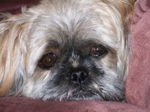 Tips for Shih Tzus with Skin Allergies