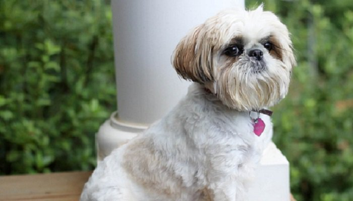 Is Your Shih Tzu Dog Food Causing Behavioral Problems?