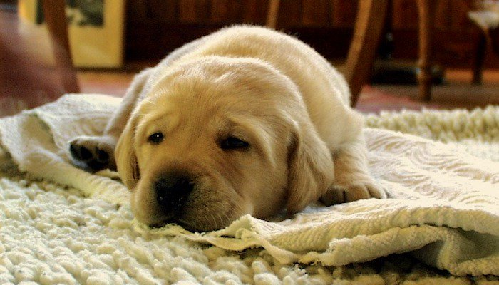 10 Best Rugs for Dogs in 2021