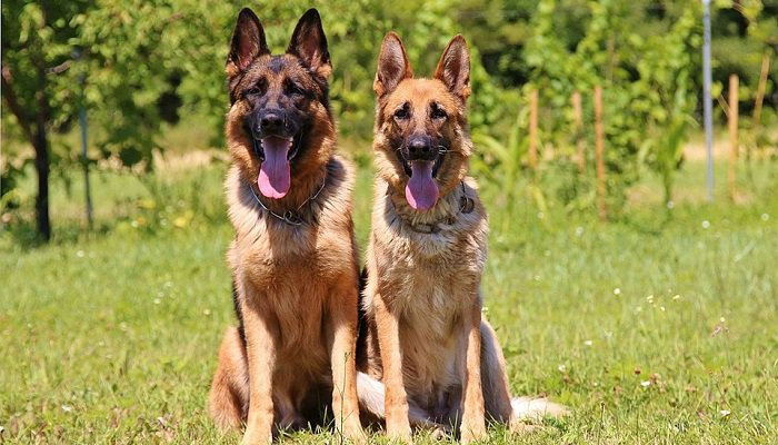 8 Ways to Keep Your German Shepherd Happy & Healthy