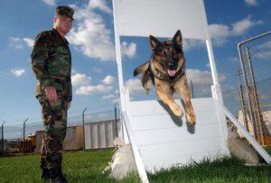 Man training German Shepherd