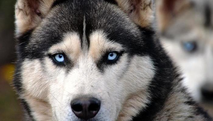Siberian Husky Training – How to Master Huskies