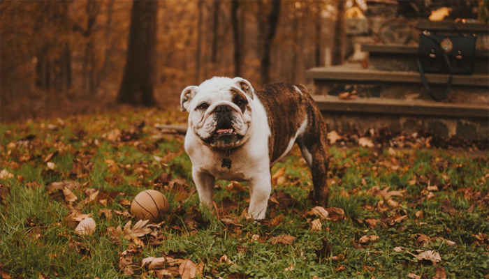 10 Best Dog Foods for Bulldogs (American, English & French Bulldogs)