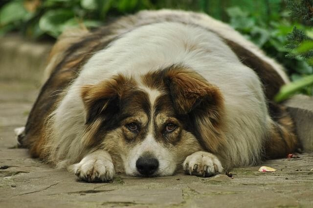 Common Health Problems For Large Breed Dogs
