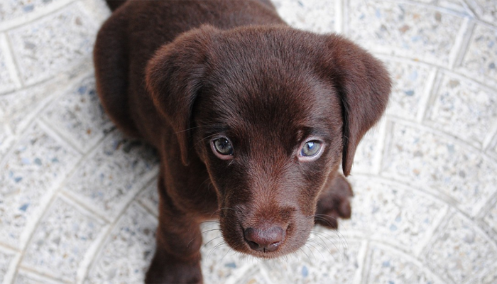 13 Best Puppy Foods for Labs in 2021