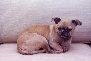 Chug Mixed Breed Dog