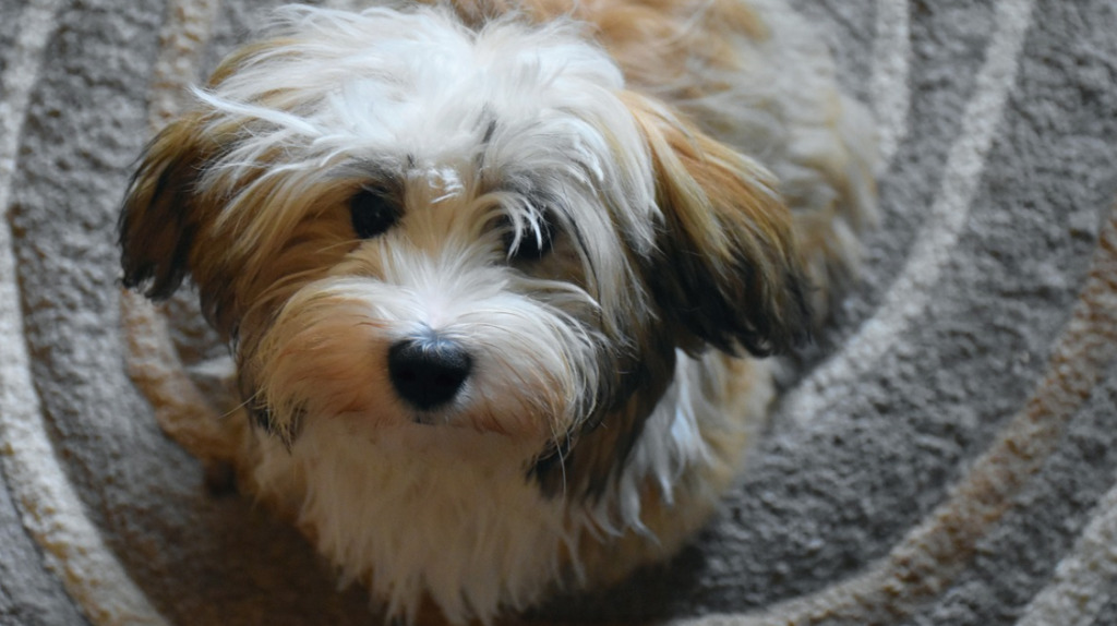 Havanese is one of the Best Dog Breeds for Anxiety